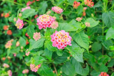 lantana: Hedge Flower, Weeping Lantana, Lantana camara Linn.