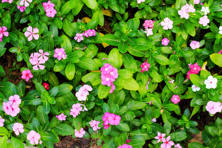 Pink Periwinkle on a leaves green background. photo