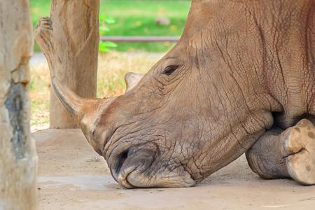 Big rhinoceros live in zoos Khao Kheow. photo