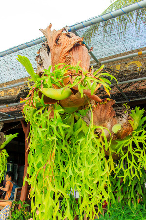 staghorn fern: Big staghorn ferns hanging on the rope.