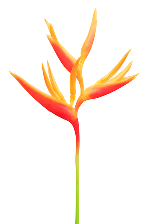 Bird of Paradise Flowers Isolated on a White Background Фото со стока