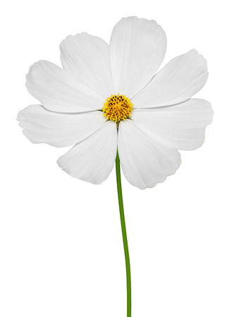 Cosmos flower bipinnatus on white background Фото со стока