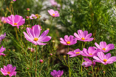 Cosmos flower bipinnatus on nature background Фото со стока