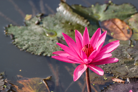A beautiful Lotus flower floating above the water