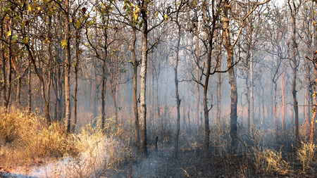 ravaged: Forest after fire with burned trees Stock Photo