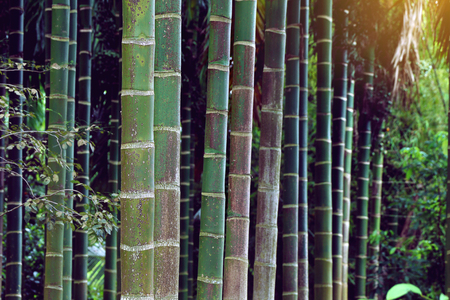 betel palm in a row of plantation in Thailand.