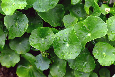 Gotu Kola, Asiatic Pennywort, Centella asiatica, green Leaves with water drop in the garden Stock Photo