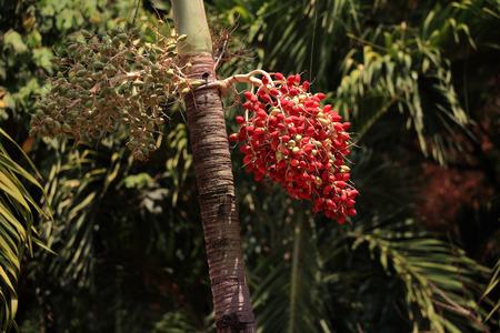 Red betel nut on palm tree.