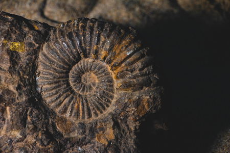closeup of ammonite prehistoric fossil embedded in stone bankground, paleontology concept
