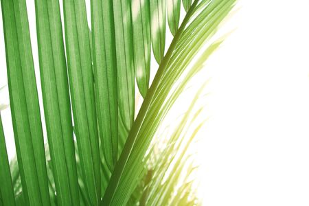 green leaves of palm tree , light green tropical jungle palm foliage, nypa fruticans leaves on white sky