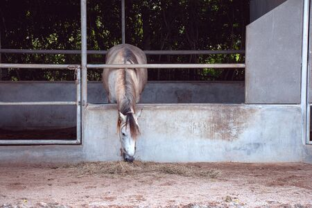 gray horse eating hay in the stable on farm in Thailand Standard-Bild