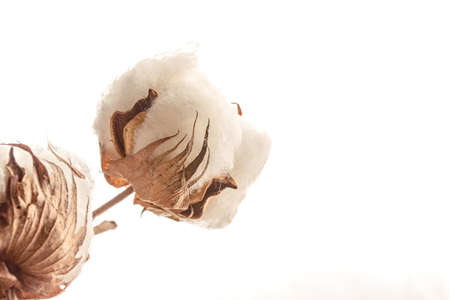 Close up of cotton plant flower isolated on white Standard-Bild