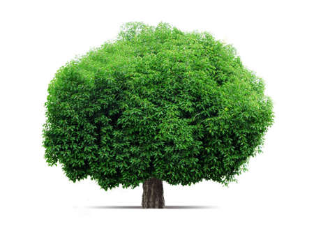The big green tree. Standing on a white background. photo