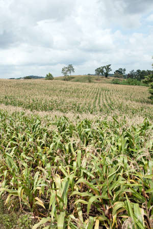 acres: Acres of corn would be harvested.