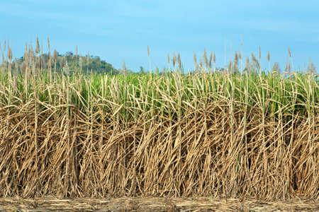 Sugar cane harvesting season,thailand photo