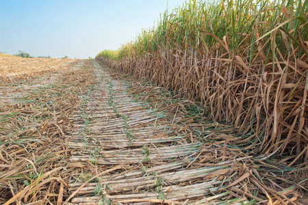 Sugar cane harvesting season,thailand photo