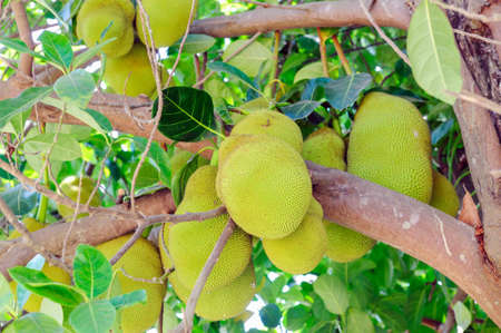 A tree branch full of jack fruits. photo
