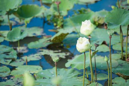 Les fleurs de lotus pour le culte du Bouddha. Banque d'images