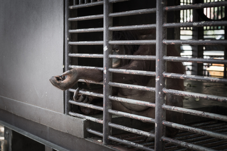 confined: orangutan Confined in cages. Wait and Immunity Stock Photo