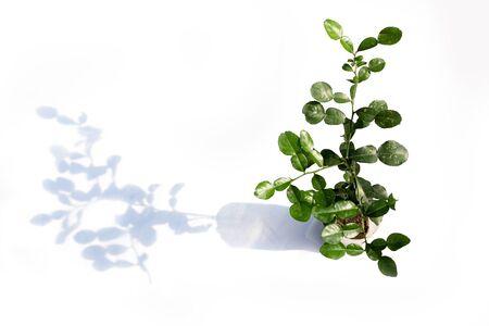 whose: Bergamot tree whose shade on white background