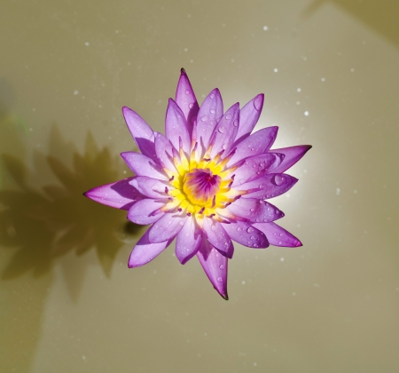 Photo of a Purple Water LilyNature   Details- Nature   Flowers   Gardens