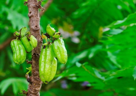Talingpling Fruit  naturally in the wild         - Nature   Fruits   Vegetables    - Objects   Other