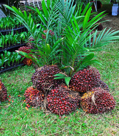 PALM KERNEL AND TREE PLAM Stock Photo