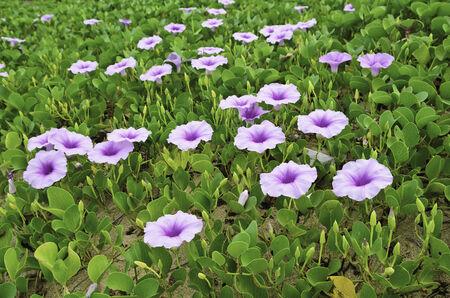 Ipomoea flowers on the beaches of Thailand  Stock Photo