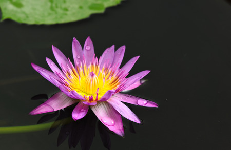a pink lotus in the pond in vertical view  Stock Photo