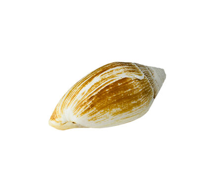 see shell on white blackgroud