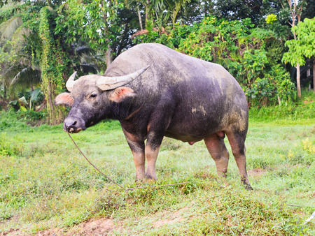 portrait of a watterbuffalo with dirty head in a farm in thailand