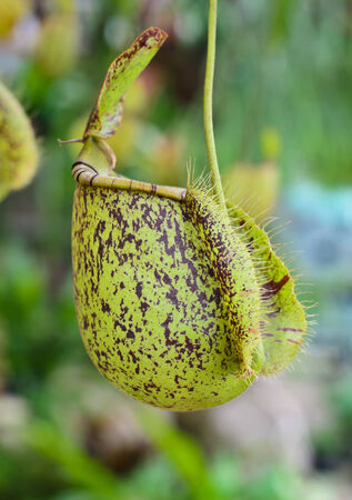 green Nepenthes plant in asia eat insect flower in forest.