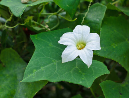 White ivy Gourd flower with green leaves background.