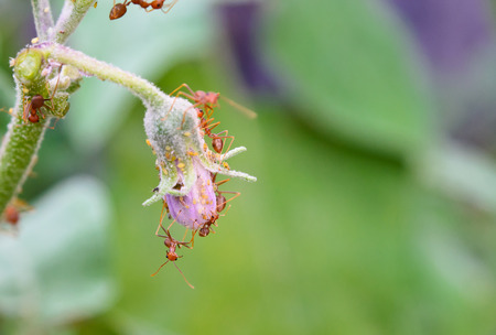 Ants and Aphids on eggplant flower green leaf.