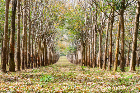 Rubber tree plantation with collecting bowls in thailand. Stock Photo