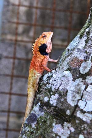 Changeable Lizard. Agamidae