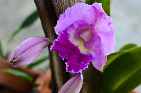 Blurred Cattleya pueple orchid
