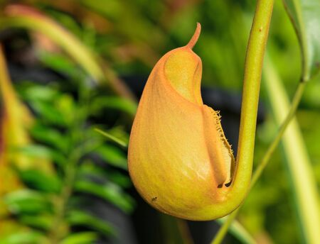 Red Nepenthes plant in asia eat insect flower in forest.