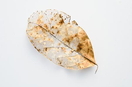 Fall Leaf on white Background Stock Photo