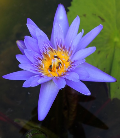 Lotus with bee