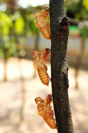 molting: Cicada molting