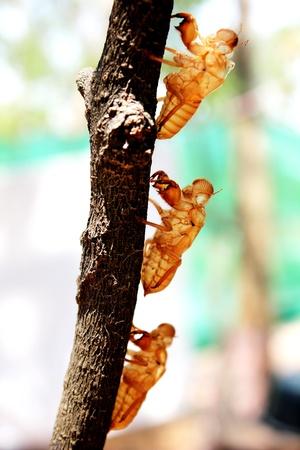 cigarra: Cicada muda