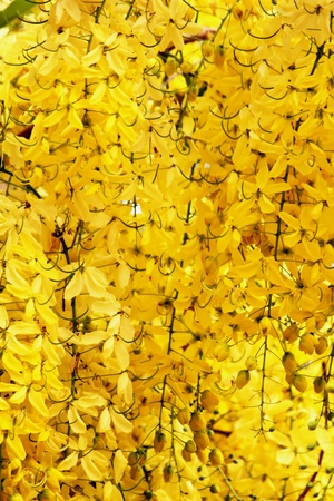 Flowering cassia photo