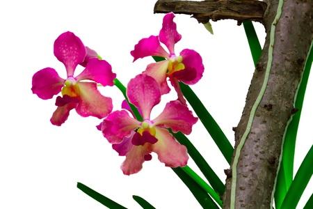 spiffy: Vanda orchid species