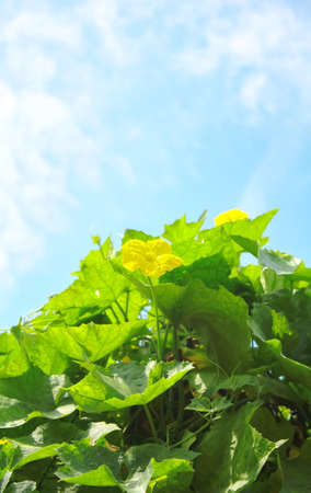 Zucchini flowers with blue sky photo