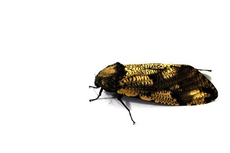 ocellatus: Moth