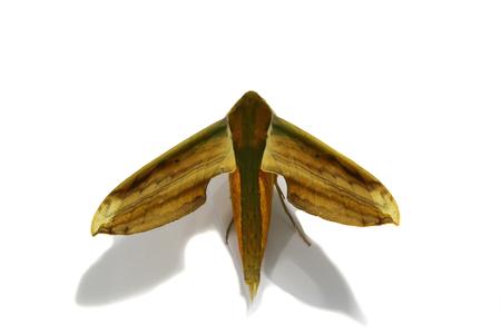 Moth Stock Photo - 23664900