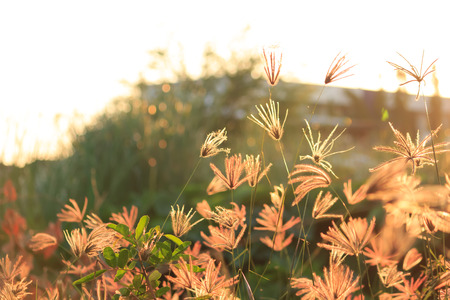 Flower of grass at sunset photo