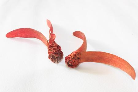 Dipterocarpus alatus Фото со стока
