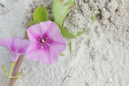 pes caprae: Ipomoea on the beach